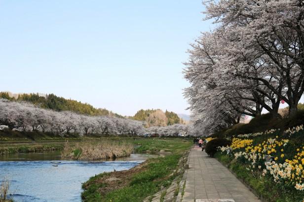 小野町_夏井千本桜_桜