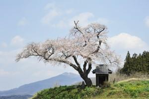 田村市_小沢の桜