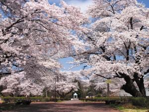 鏡石町_岩瀬牧場桜