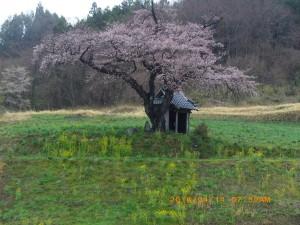 参考小沢の桜G (1)