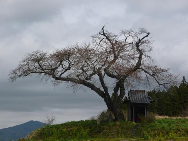 小沢の桜(全体)