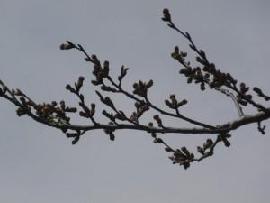 小沢の桜(拡大)
