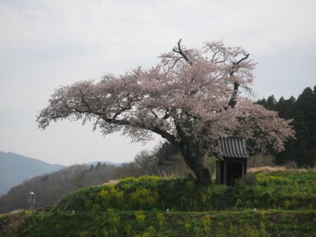 小沢の桜IMG_0326 (1)