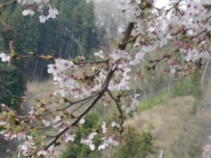 小沢の桜IMG_0326 (2)