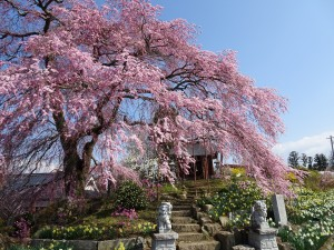 金毘羅桜201604061 (2)