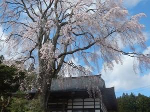 大方寺桜H29.4.19