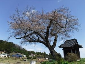 小沢の桜 開花