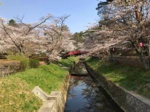 0404_須賀川市翠ヶ丘公園2(4月4日撮影) (2)