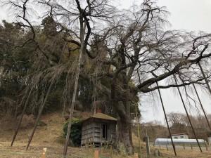 地蔵桜3月10日_190310_0001