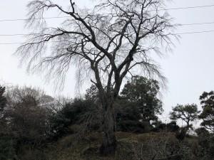忠七桜3月10日_190310_0011