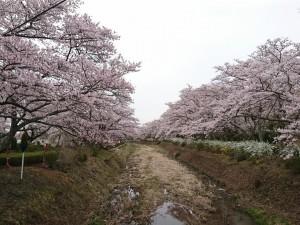 笹原川千本桜_190421_0003