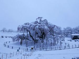 20190412 三春町雪の滝桜_190415_0005