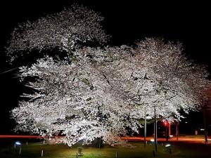 20190416 日大の桜_190417_0003