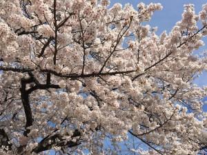 20190417 たから幼稚園の桜_190417_0002