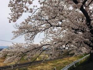 20190417 奥羽大学前の桜_190417_0006
