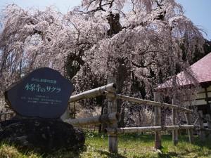 20190422永泉寺の桜_190422_0010