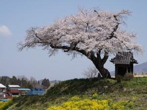 422 小沢の桜_190422_0003