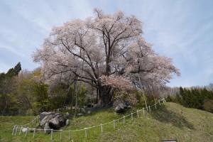 20190503越代の桜_190503_0003