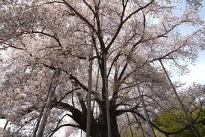 20190503越代の桜_190503_0004