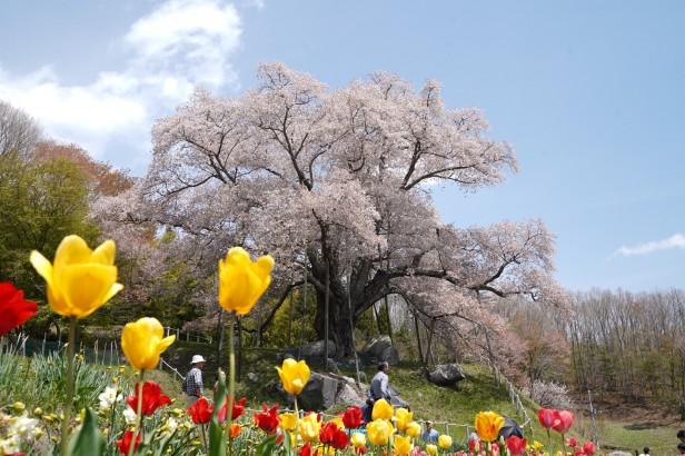 20190503越代の桜_190503_0008