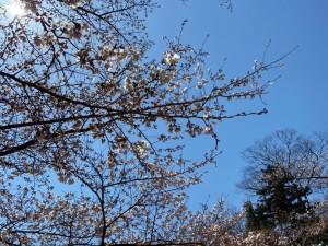 0403日大の桜_200403_0006