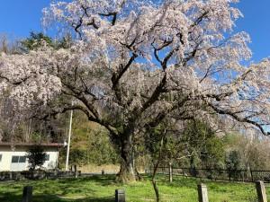 20210407永泉寺の桜_210407_0