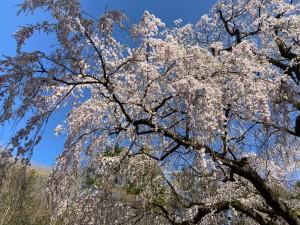 20210407永泉寺の桜_210407_1