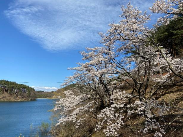 20210407藤沼湖公園の桜_210407_3