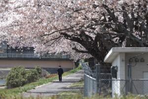 20210407釈迦堂川の桜_210407_1
