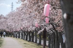 20210407釈迦堂川の桜_210407_5
