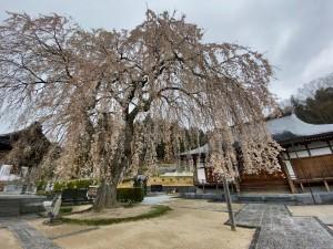 20210414常光禅寺の桜_210414_0